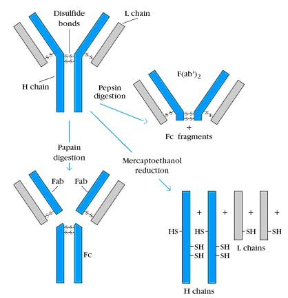 Immunoglobulins