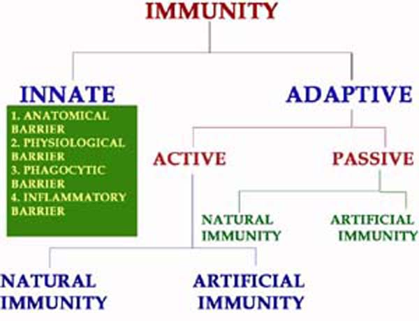example of innate and acquired needs Nisms of interaction between cells of the innate and adaptive immune systems, and concludes by showing how these mechanisms are examples of more general systemic properties while the integral role representative of tissue in the absence of pathogen, needs to be tolerated by the host [22] signals received by dcs.