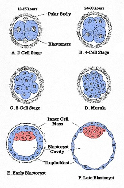 After The Development Of Blastocyst It Secretes Enzymes That Digest A Microscopic Portion Uterus Then Nestles Into This Site Nourished By