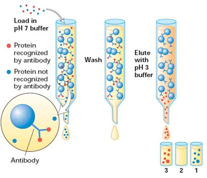 PROTEIN ISOLATION AND PURIFICATION